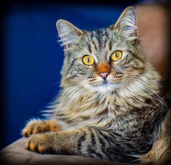 Maine Coon is listed (or ranked) 1 on the list The Best, Most Unusual Exotic Cat Breeds