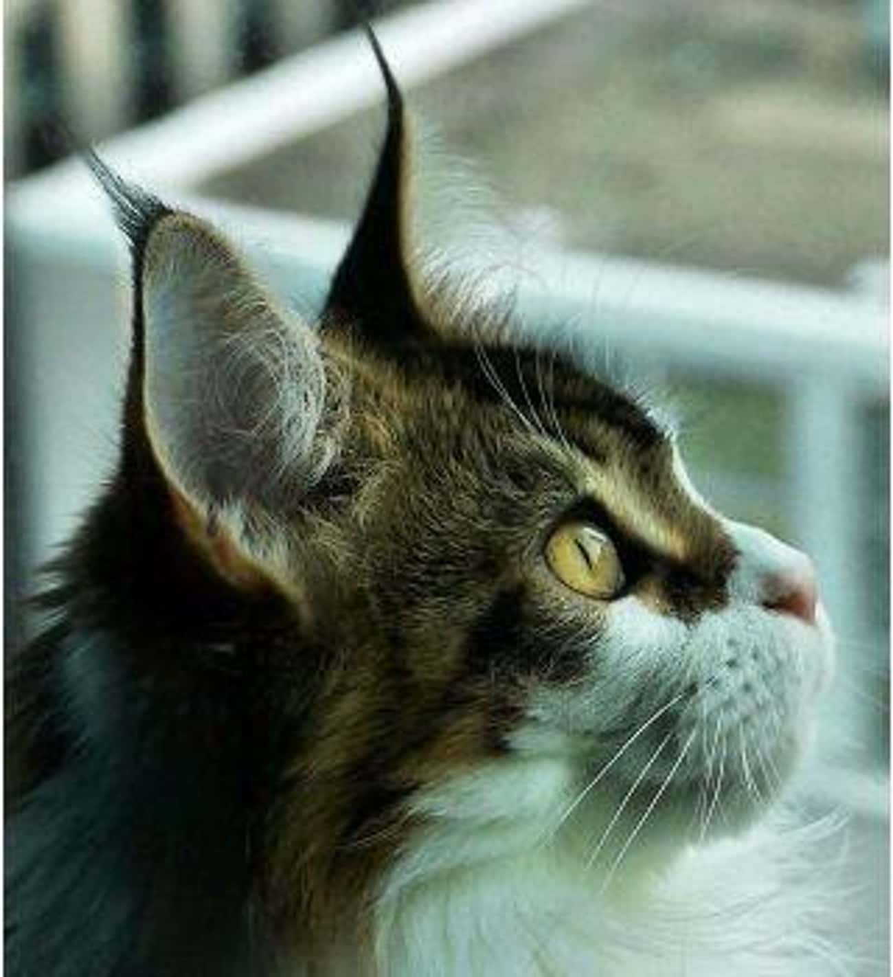 Maine Coon is listed (or ranked) 1 on the list The Best Long-Haired Cat Breeds