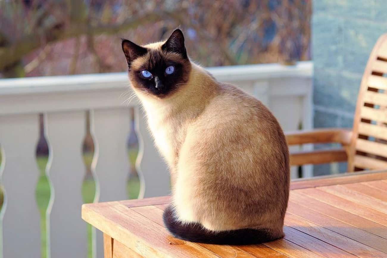 Siamese is listed (or ranked) 3 on the list The Best, Most Unusual Exotic Cat Breeds