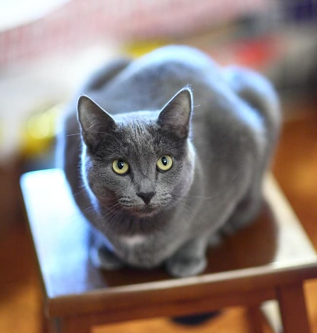 Russian Blue Is Listed Or Ranked 7 On The List The Best Most