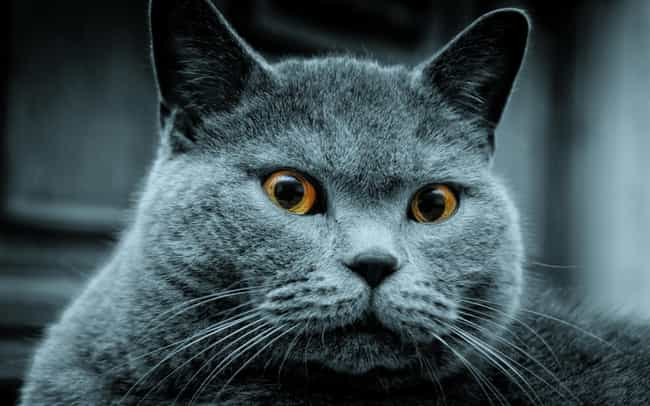 Russian Blue is listed (or ranked) 3 on the list The Best Hypoallergenic Cat Breeds
