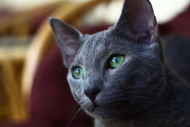 Russian Blue is listed (or ranked) 2 on the list The Best, Most Unusual Exotic Cat Breeds