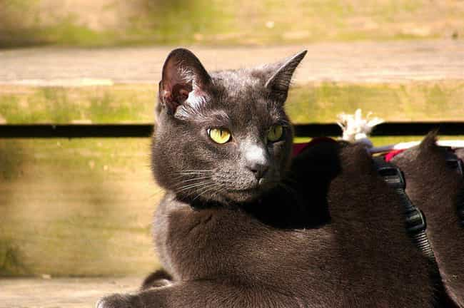 Russian Blue is listed (or ranked) 3 on the list The Best Short Hair Cat Breeds