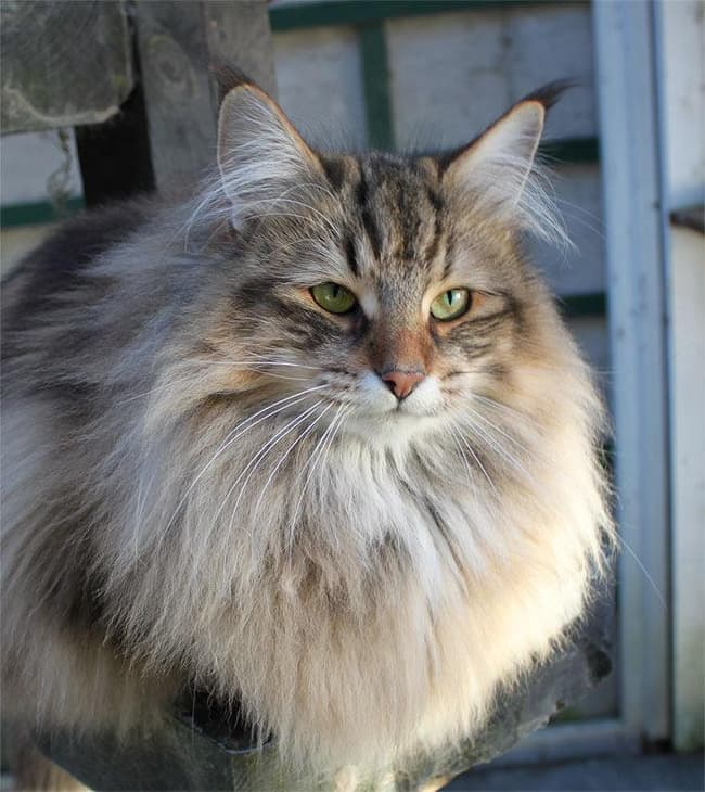 Norwegian Forest Cat Is Listed Or Ranked 2 On The List The Best Long