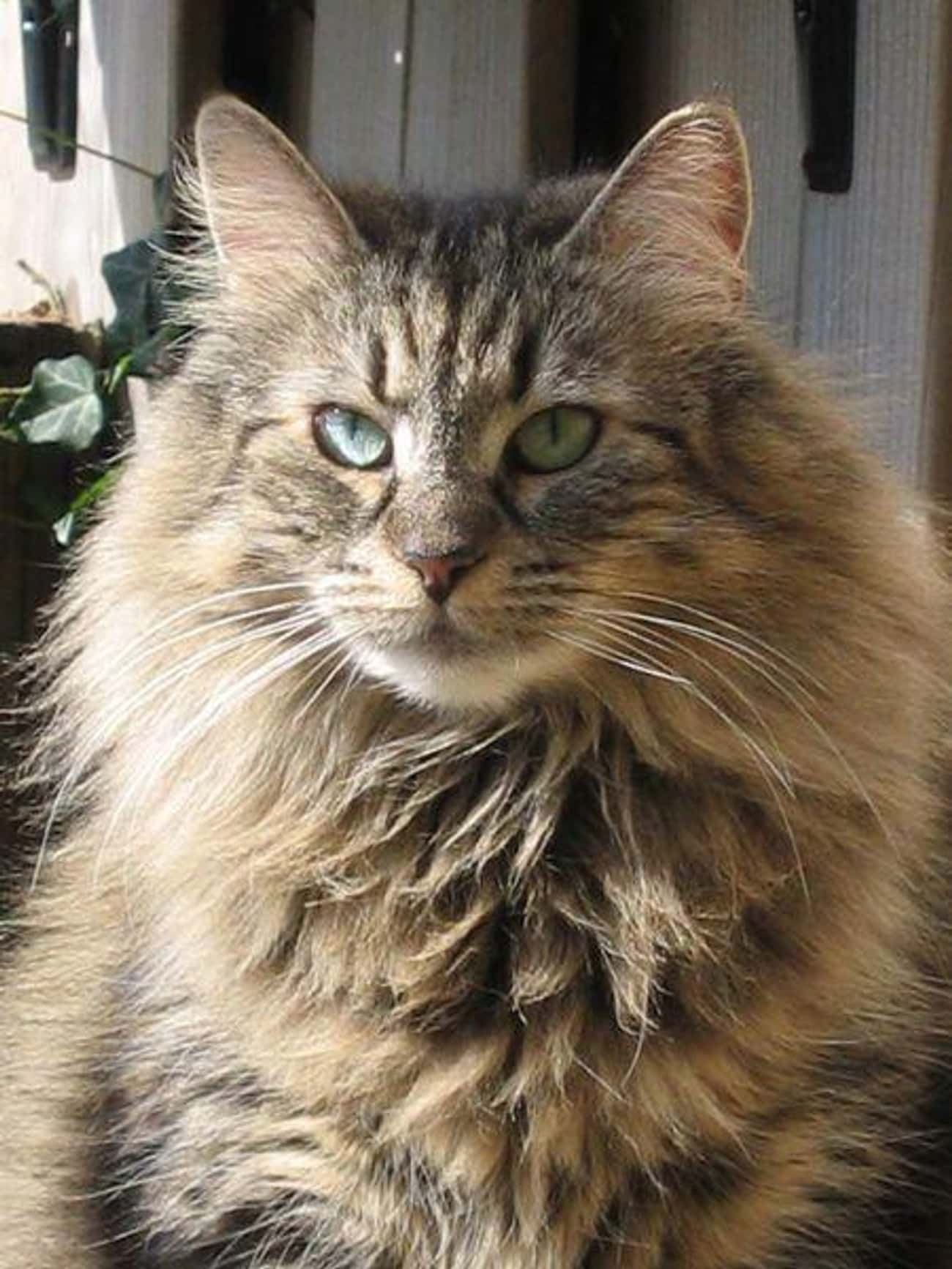 Norwegian Forest Cat is listed (or ranked) 2 on the list The Best Long-Haired Cat Breeds