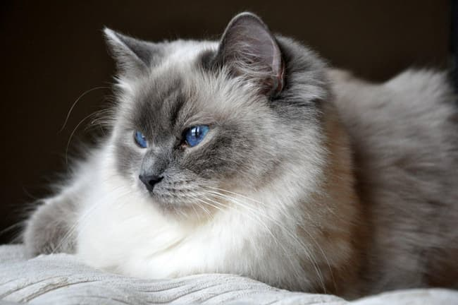 Ragdoll Is Listed Or Ranked 3 On The List The Best Long Haired Cat