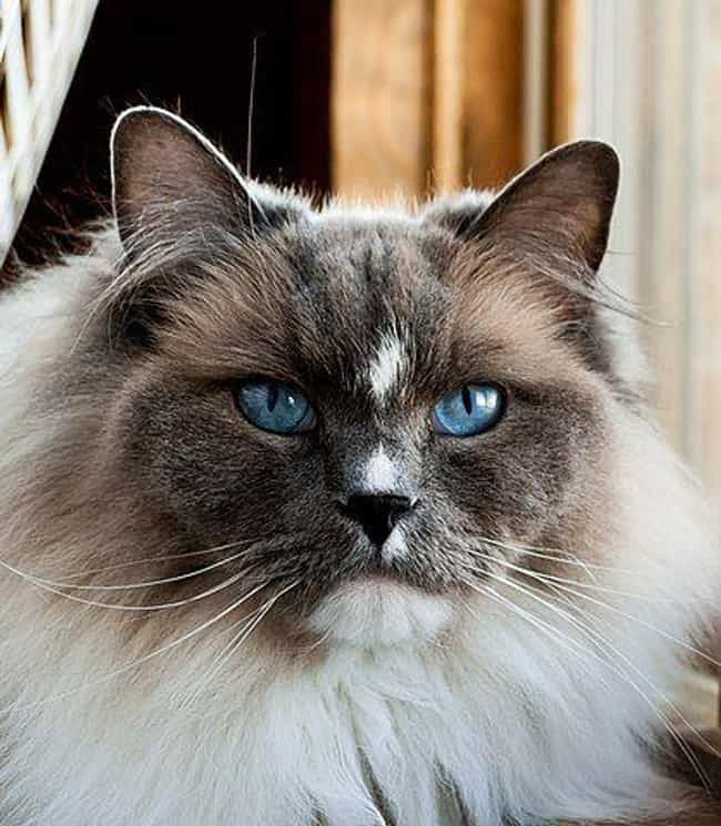 Ragdoll is listed (or ranked) 3 on the list The Best Long-Haired Cat Breeds