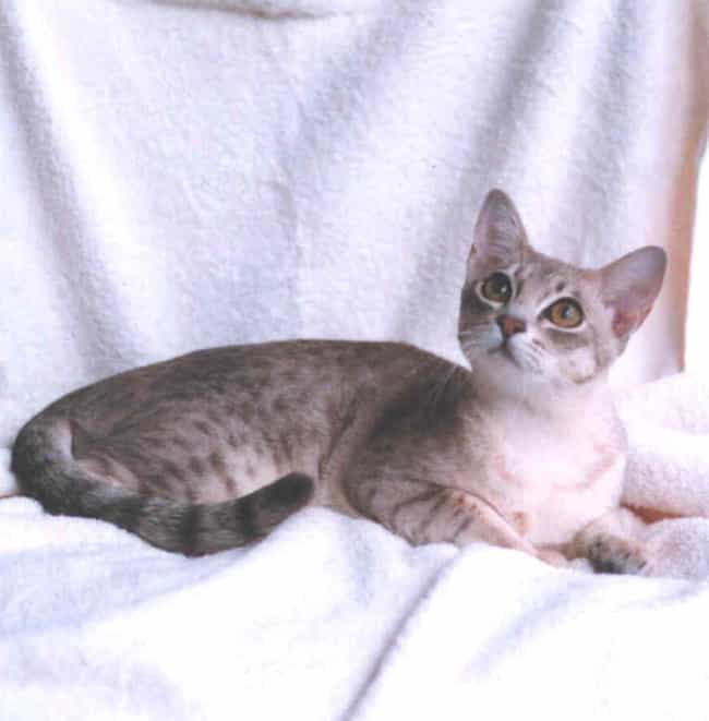 Australian Mist is listed (or ranked) 2 on the list The Most Adorable Hybrid Cats