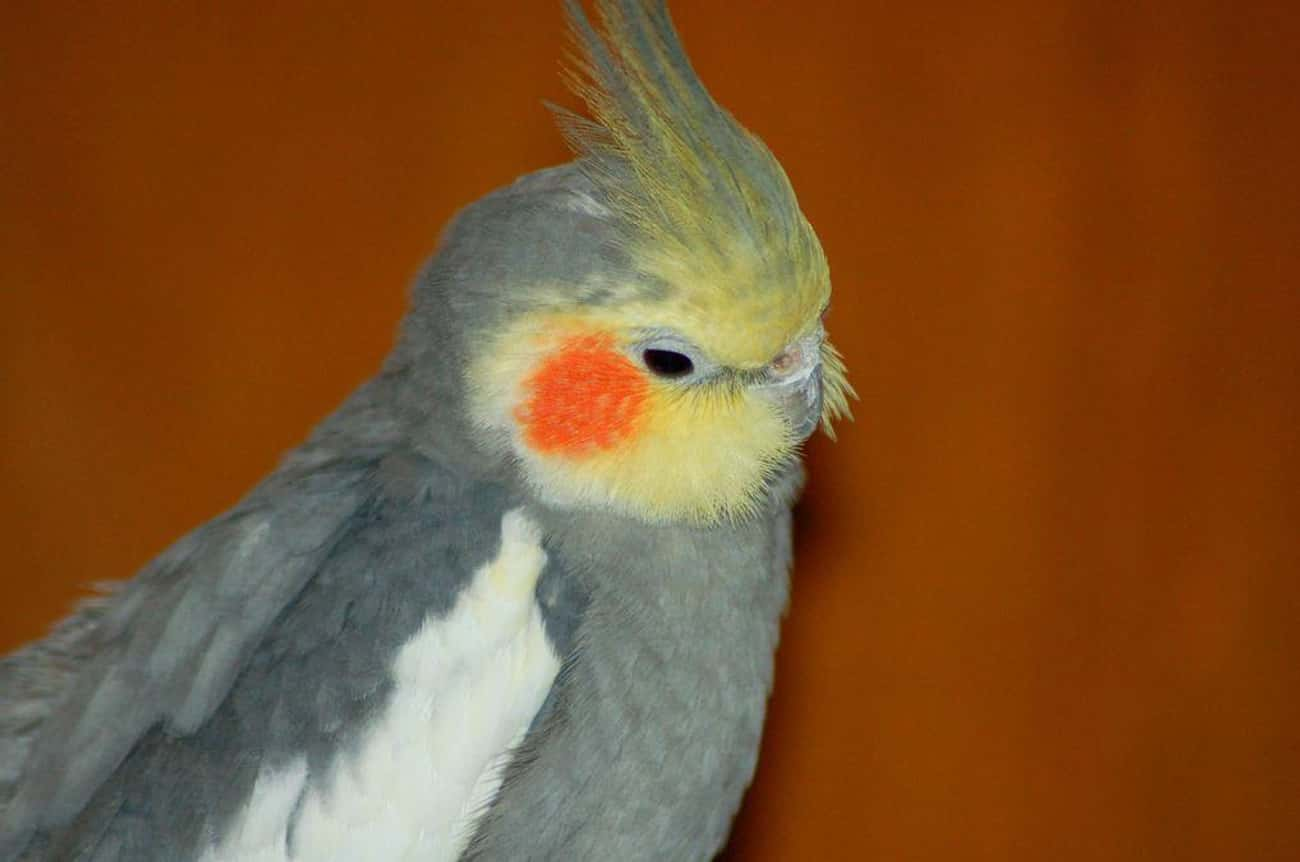 Cockatiel is listed (or ranked) 1 on the list Birds That Make the Best Pets