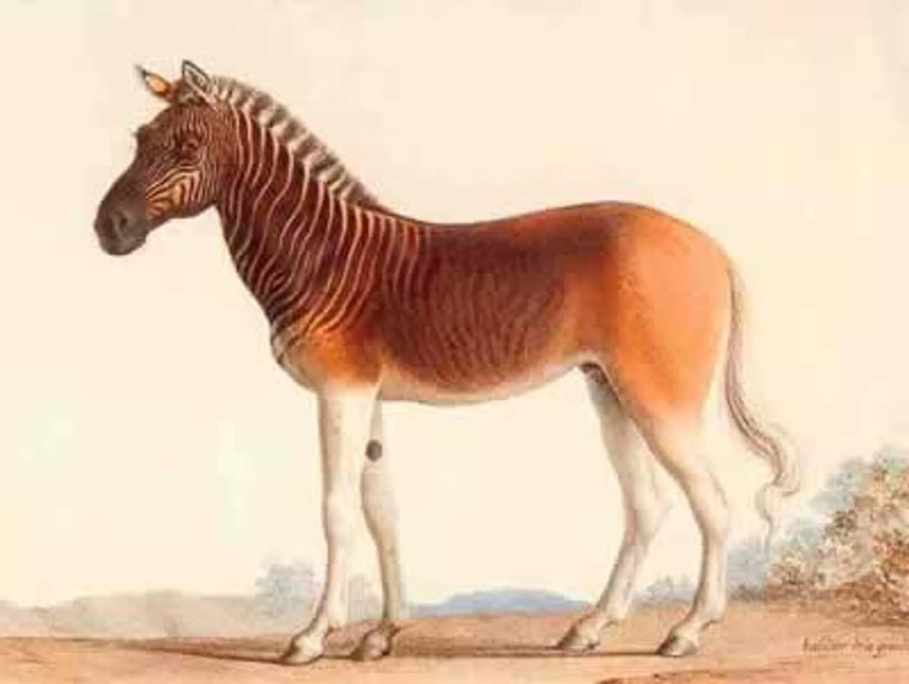Quagga: half zebra, half hors is listed (or ranked) 2 on the list 10 Most Amazing Extinct Animals