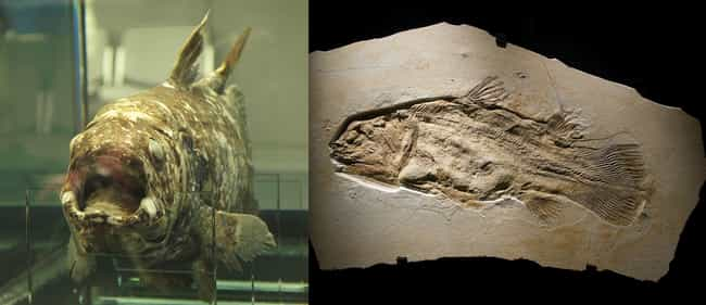 Coelacanth is listed (or ranked) 1 on the list Extinct Species That Came Back From The Dead