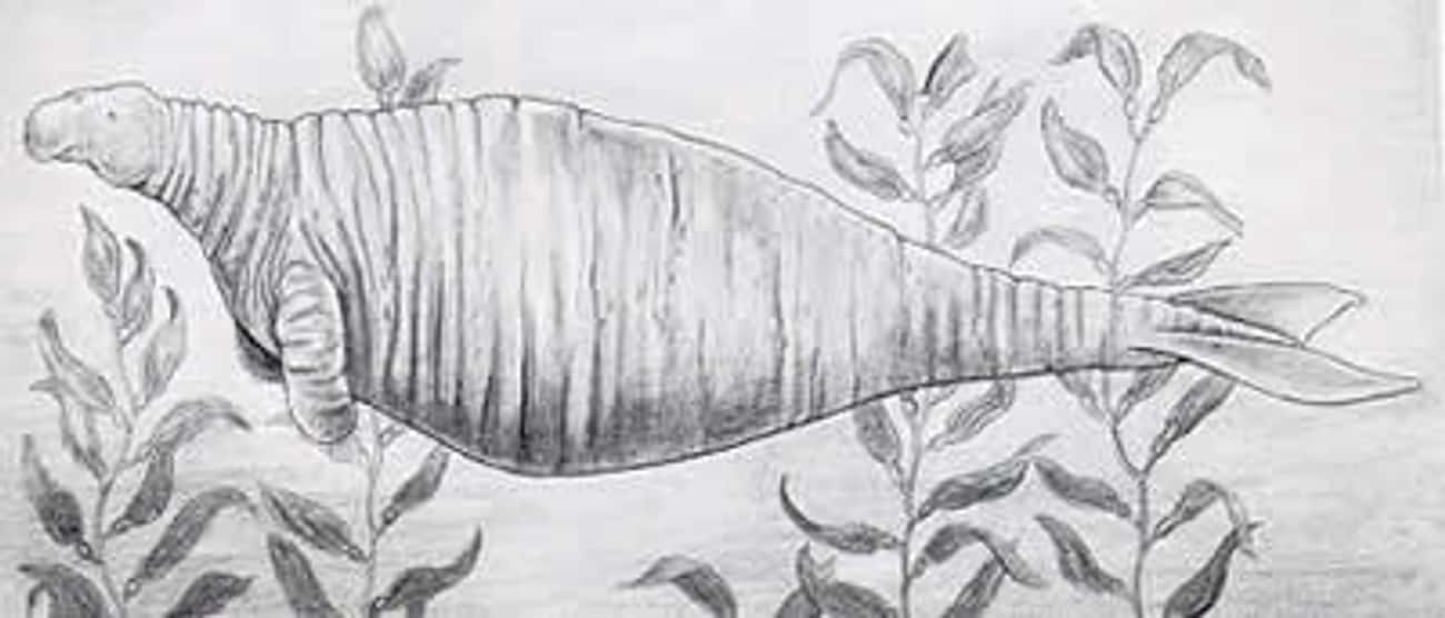 Steller's Sea Cow: the defens is listed (or ranked) 4 on the list 10 Most Amazing Extinct Animals
