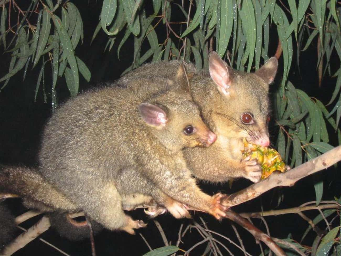 Possums Pass Out When Stressed is listed (or ranked) 4 on the list 25 Fascinating Facts You Probably Never Learned About Marsupials