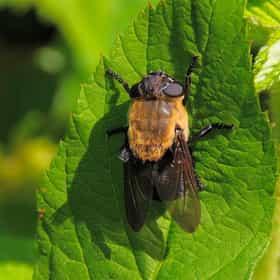 Botfly