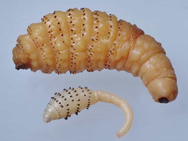 Botfly is listed (or ranked) 3 on the list Here Are All Of The Gnarly Bugs That Love To Feed Off Of Human Flesh