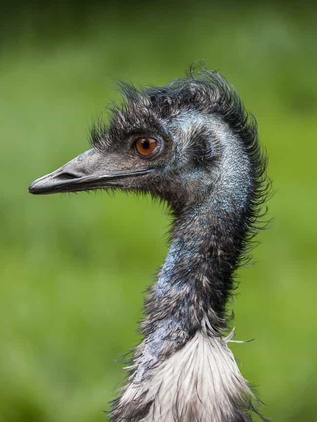 Emu is listed (or ranked) 4 on the list The Scariest Types of Birds in the World