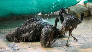 Emu Dads Starve For Their Chic is listed (or ranked) 1 on the list Dads Of The Animal Kingdom Who Are Truly The Best