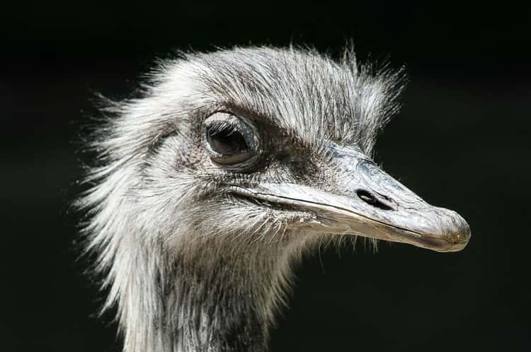 The Australian Government Declared War on Emus for Eating Too Many Crops