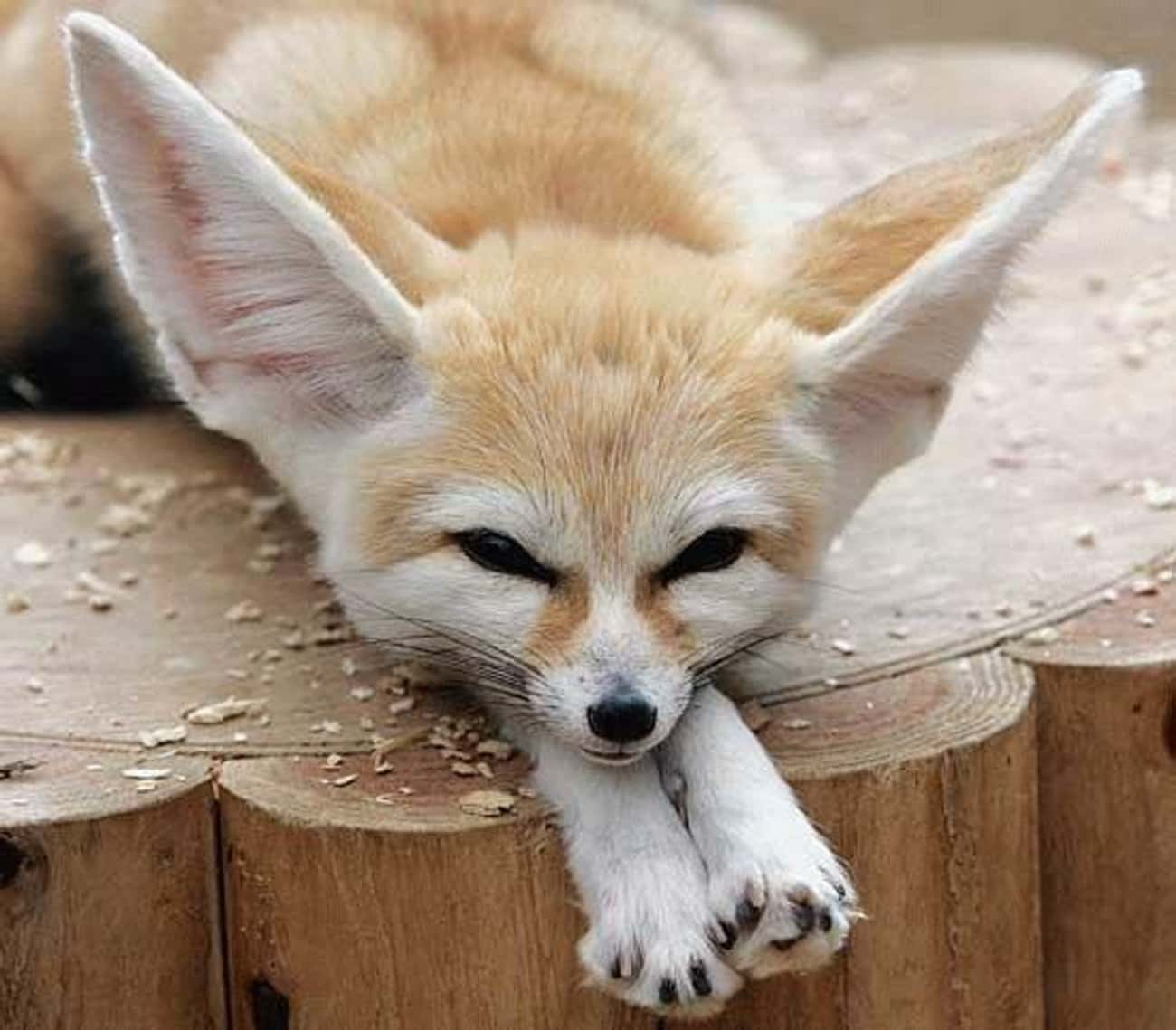 Fennec Foxes have furry feet which work like snowshoes to protect them from extremely hot sand.