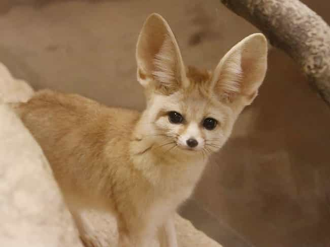 Fennec is listed (or ranked) 2 on the list Wonderful Animals With The Biggest Ears In The World