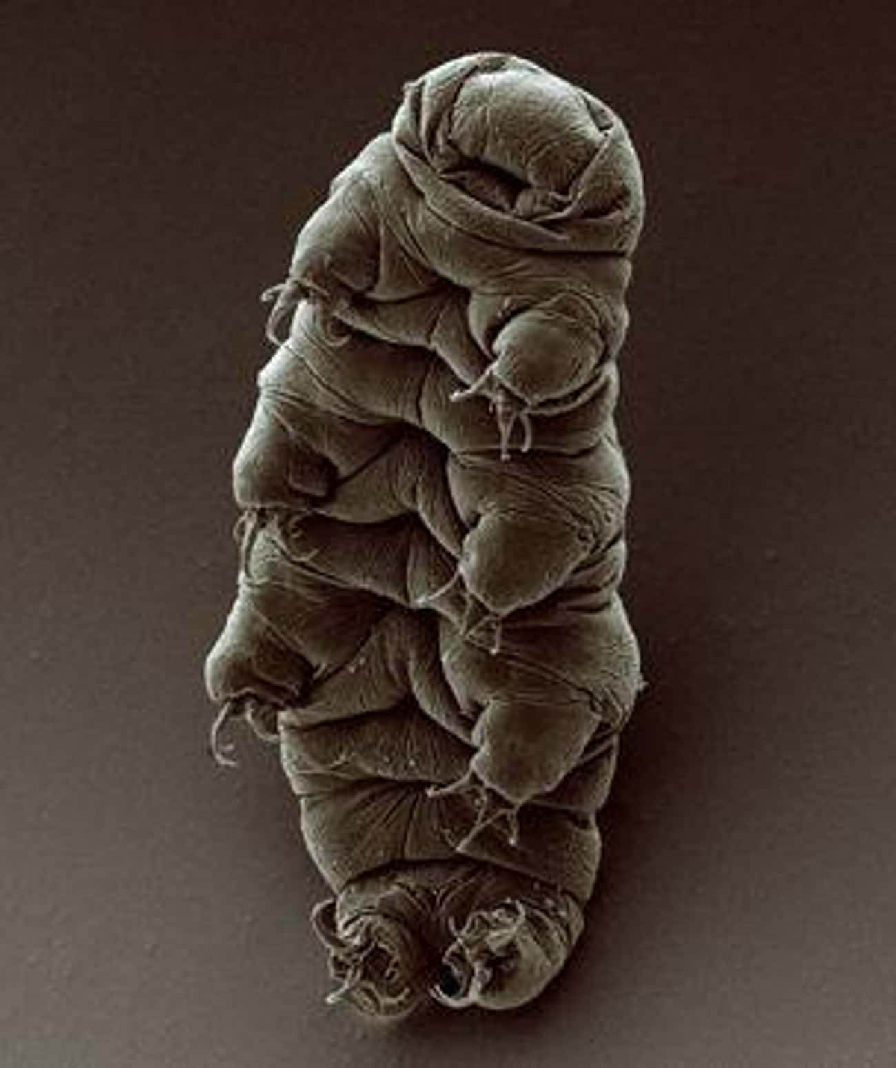 Tardigrades Are The Hardiest C is listed (or ranked) 2 on the list Animal Facts That Sound Fake, But Are 100% Legit