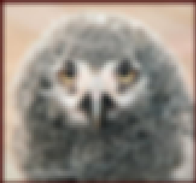 Snowy Owl is listed (or ranked) 1 on the list Pretty Birds