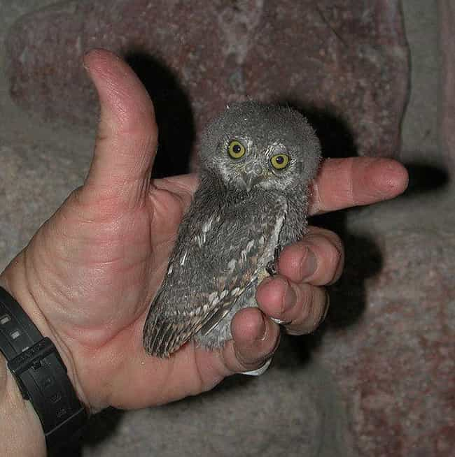 Elf Owl is listed (or ranked) 1 on the list Pygmy And Dwarf Animals That Are So Cute It Hurts