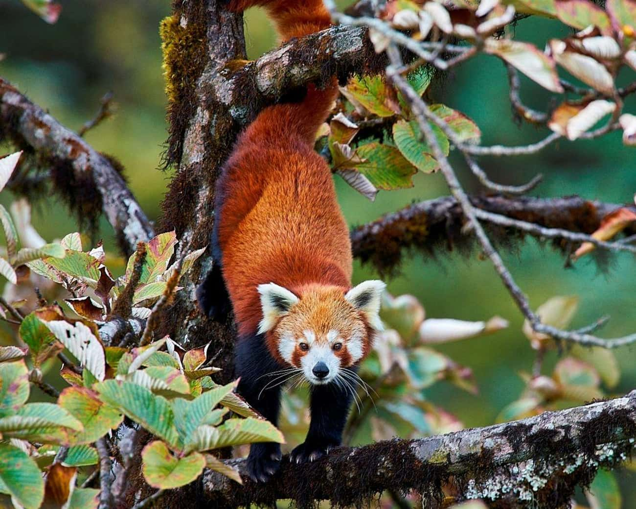 Red Panda is listed (or ranked) 3 on the list The World's Most Beautiful Animals