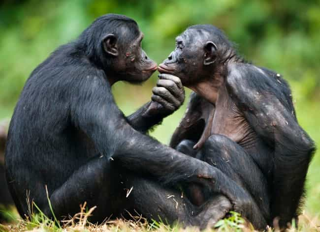 Bonobo is listed (or ranked) 3 on the list Animals Who Have Same Sex Partners