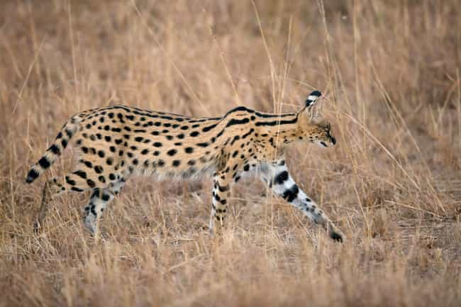 Serval is listed (or ranked) 3 on the list The Weirdest Animals You Can Legally Own In The US