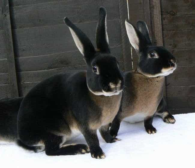 European Rabbit is listed (or ranked) 1 on the list 19 Photos Of Melanistic (All Black) Animals That'll Leave You In Awe Of Mother Nature