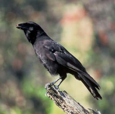 Hawaiian Crows Use Sticks To D is listed (or ranked) 2 on the list 11 Animals That Use Tools In Insanely Clever Ways