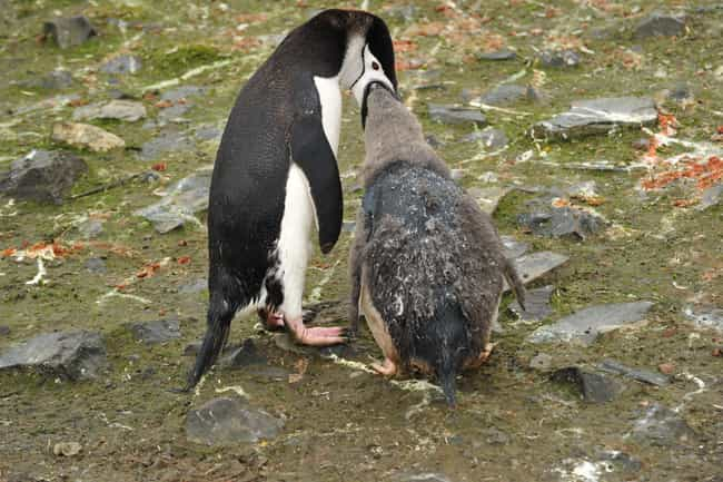 Chinstrap Penguin is listed (or ranked) 4 on the list Dads Of The Animal Kingdom Who Are Truly The Best