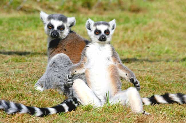 Lemur is listed (or ranked) 1 on the list Insanely Cool Animals You Can Only Find In Madagascar