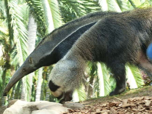 Giant Anteater is listed (or ranked) 18 on the list 28 Cute Animals That You Don't Want To Mess With