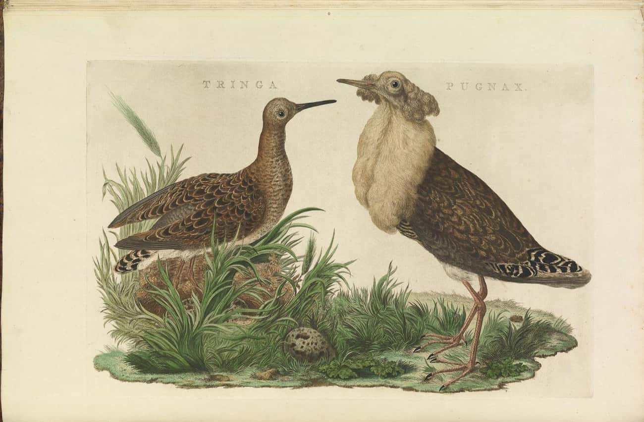 Some Male Ruffs Evolved To Loo is listed (or ranked) 1 on the list 10 Animals That Manipulate Their Partners Into Mating with Them