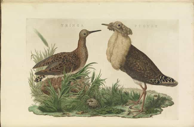 Ruff is listed (or ranked) 1 on the list 10 Animals That Manipulate Their Partners Into Mating with Them