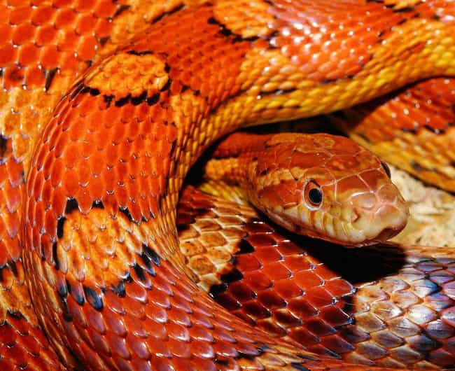 Corn Snake is listed (or ranked) 2 on the list What The Different Colors Of Snake Are Trying To Tell You
