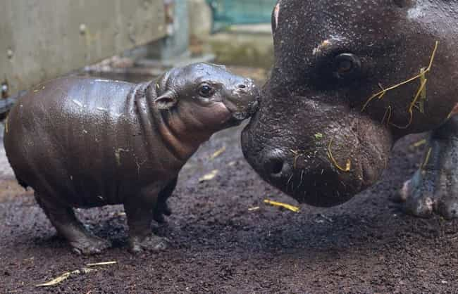 Pygmy Hippopotamus is listed (or ranked) 3 on the list Pygmy And Dwarf Animals That Are So Cute It Hurts