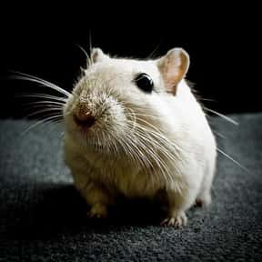 Gerbil is listed (or ranked) 9 on the list The Best Pets for Kids