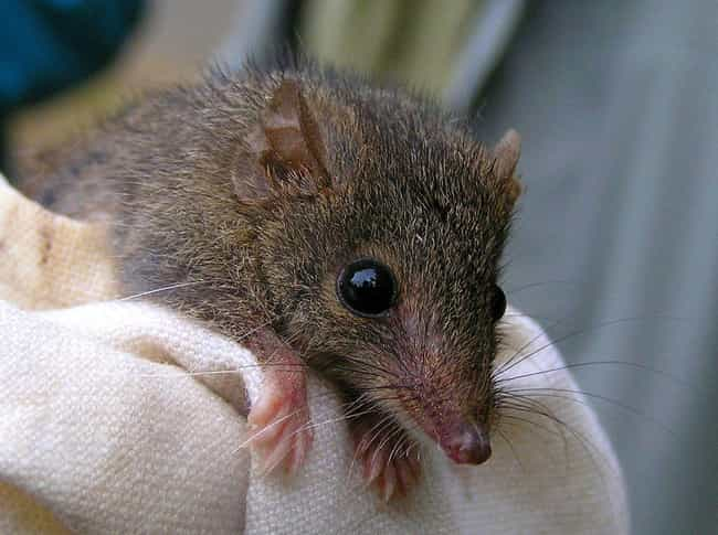 Antechinus is listed (or ranked) 3 on the list Animal Facts That Sound Fake, But Are 100% Legit