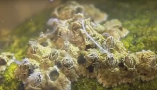 Barnacle is listed (or ranked) 1 on the list 11 Animals with the Craziest Penis-to-Body Ratio in All of Nature