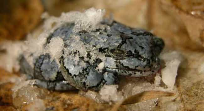 Wood Frog is listed (or ranked) 3 on the list 13 Fascinating Animals That Hibernate