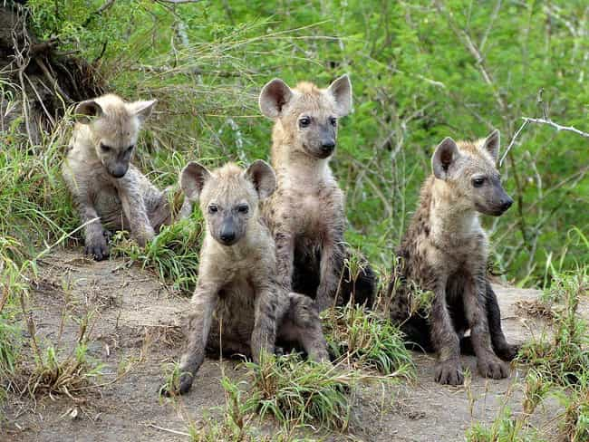 Spotted Hyena is listed (or ranked) 2 on the list Baby Animals That Kill Each Other To Reign Supreme In The Crib