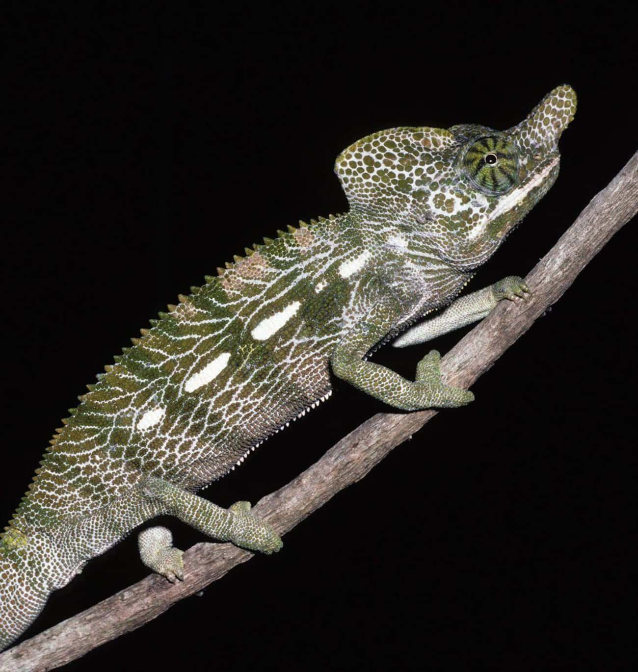 Furcifer Labordi Chameleons Di is listed (or ranked) 1 on the list 10 Animals Who Die Immediately (Or Close to) After Sex