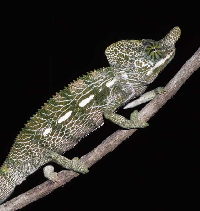 Furcifer is listed (or ranked) 1 on the list 10 Animals Who Die Immediately (Or Close to) After Sex
