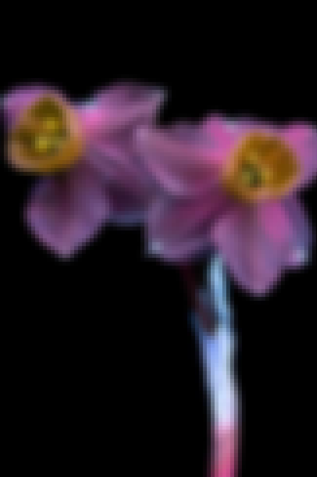 Narcissus is listed (or ranked) 1 on the list Photographer Captures Amazing Invisible Light Plants Emit With UV Photography