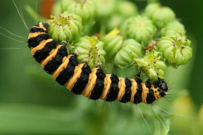 Cinnabar moth is listed (or ranked) 4 on the list The Coolest Looking Caterpillars That Can Actually Hurt Or Kill You