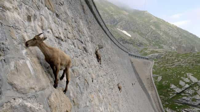 Alpine Ibex is listed (or ranked) 2 on the list Real Animals That Literally Have Superpowers