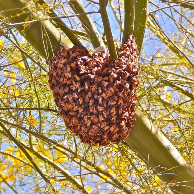 Africanized bee is listed (or ranked) 2 on the list The Most Damaging Invasive Species in the World